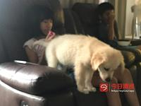 golden retriever puppy for sell 金毛狗狗