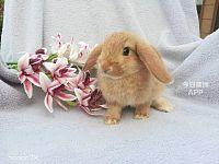 寄养兔子荷兰猪找 BunnySDY