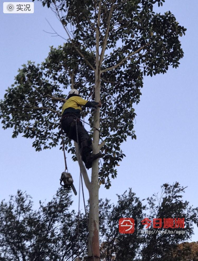 砍树 刨根