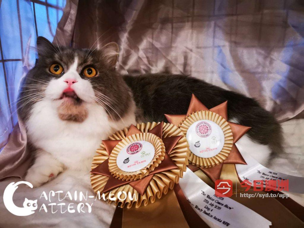 全澳唯一赛级矮脚猫猫舍