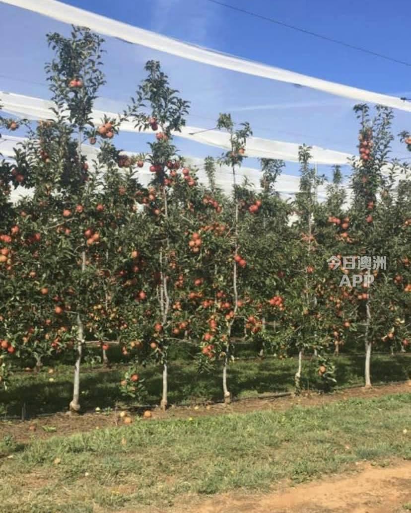 旅行社推出果园一日游采摘您自己的水果