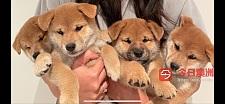 注册澳洲和日本柴犬犬舍