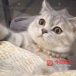 正规注册英短猫舍 欢迎咨询