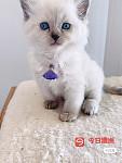 纯种布偶宝宝深邃蓝眼睛