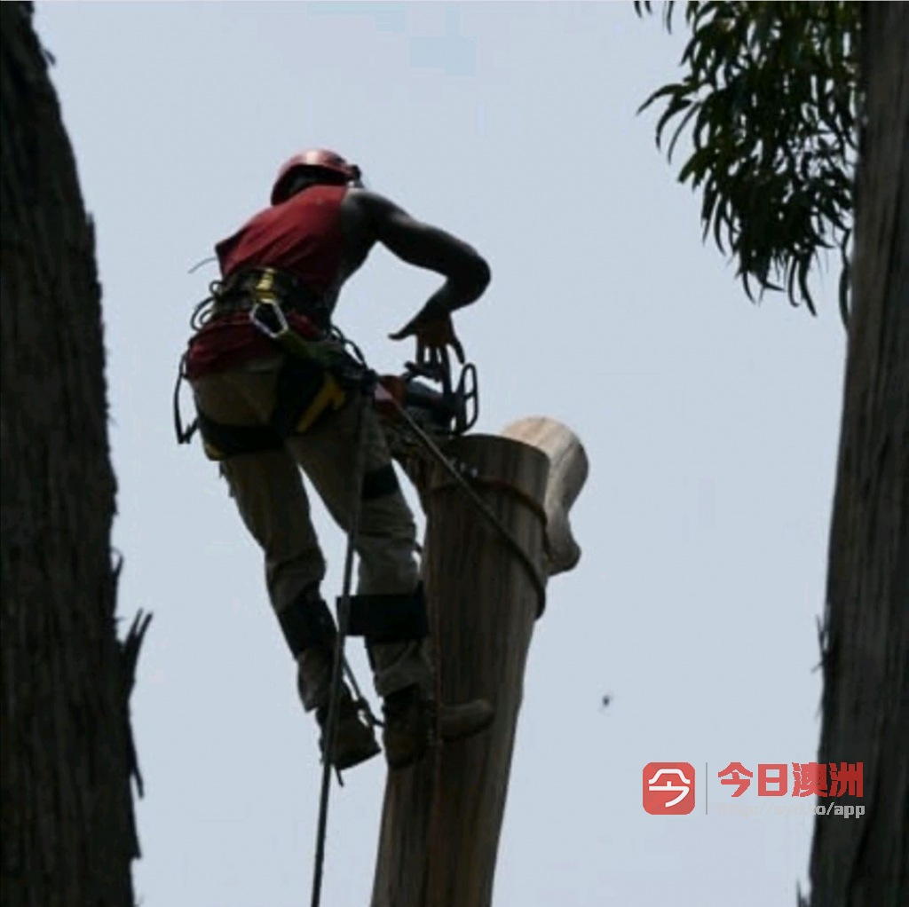 悉尼砍树刨根